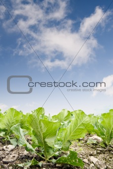 Green cabbage farm