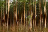 High pine-trees