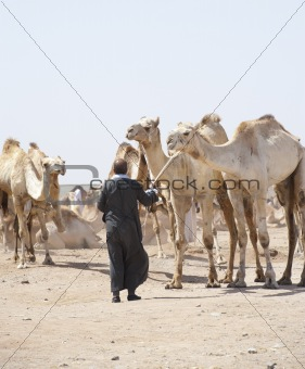 Bedouin trader with camels