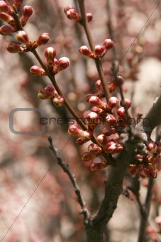 Branches of a tree with delicate pink flowers un-blown