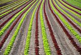 Lettuce field
