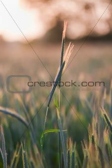 close up of wheat on sunset