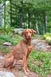 Female Vizsla Dog Sitting in the Woods
