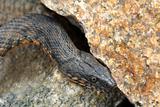 Snake water, latin Natrix tessellata