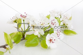 Blooming tree in spring isolated on white