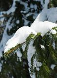 Snowy pine  branches in winter