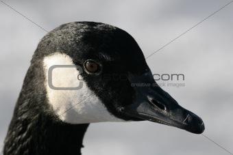 Canada Goose Head Shot