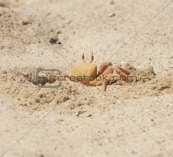 Red Sea ghost crab in burrow