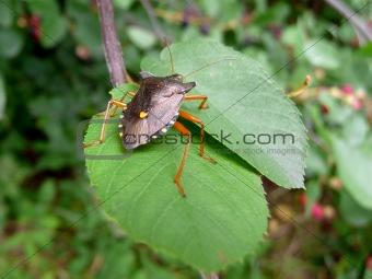 Forest bug on green leaf