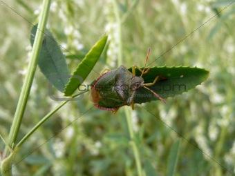 Forest bug on leaf