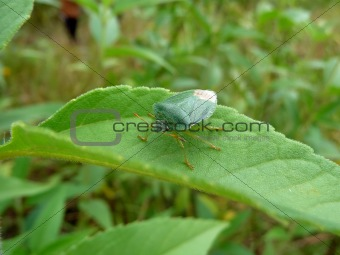 Green forest bug