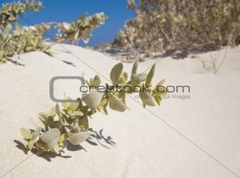 Small desert plant on a sand dune