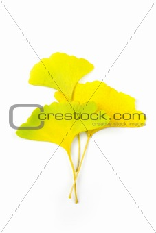Autumn Ginkgo Biloba leaves / Beautiful Composition / isolated o