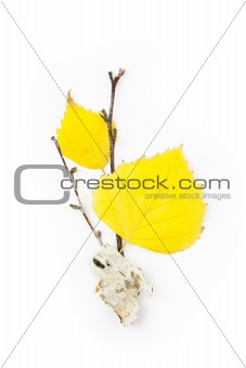 Autumn Birch Leaves / Beautiful Composition / isolated on white