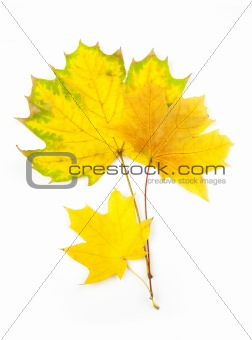 Autumn Maple Leaves / isolated on white