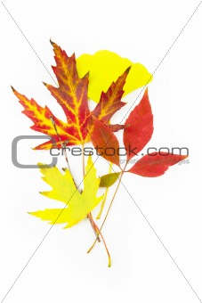 Beautiful Autumn Leaves / isolated on white