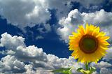Sunflower against  blue sky with clouds