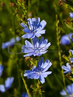 Three flowers of chicory