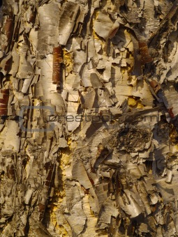 Background from a bark of yellow birch