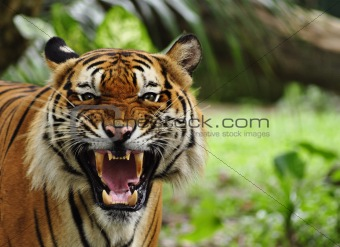 close up of a roaring tiger