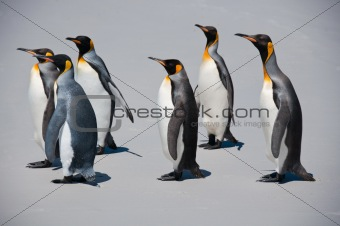 Group of Six King Penguins on the Beach