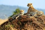 Masai Mara Cheetahs