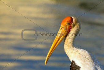 potrait of a stork