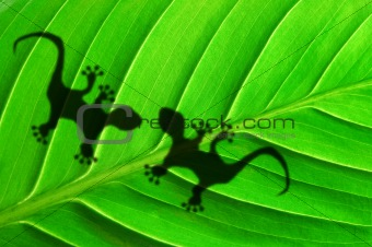 gecko shadow on leaf