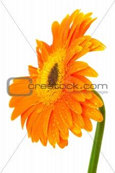 Beautiful orange gerber