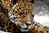 Relaxing jaguar