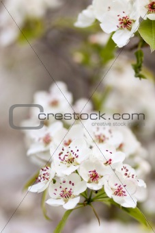 Blooming tree in spring with white flowers