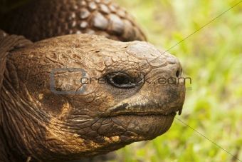 Giant Tortoise Head Shot