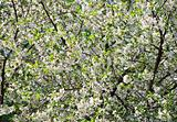 Flowering apple-tree background