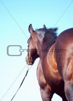 bay horse behind at blue sky