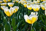 Tulips - Jaap Groot varieties