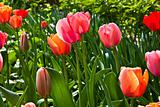 Spring tulips impregnated by the sun