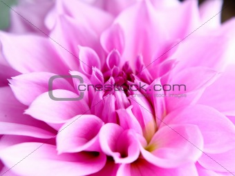 Beautiful pink lotus flower close-up