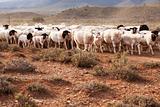 Flock of sheep walking in arid country