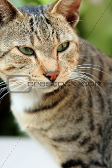 Adult tabby cat looking over the edge of a white table