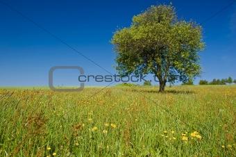 Single Tree in the Meadow