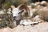 Albino Bighorn Ram Sheep