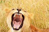 Masai Mara Baby Lion Yawning/Growling