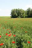 Red poppies on the green wheat field