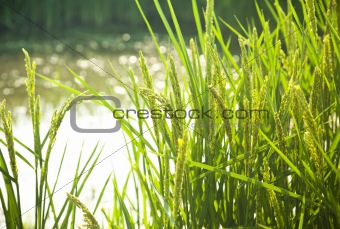 rice / paddy field in sunshine / soft selective focus on the  fo