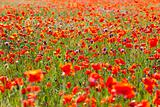 Summer Meadow / Poppy Field / nature background or wallpaper