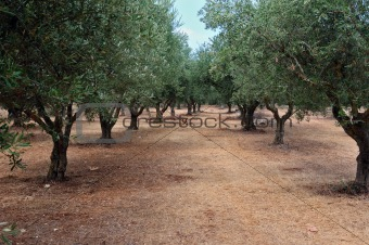 olive tree rows