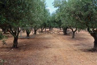 olive tree rows