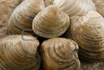 Close up of Littleneck Clams
