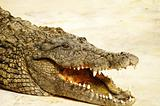 Alligator shows teeth