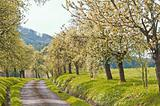 alley of blooming trees in spring